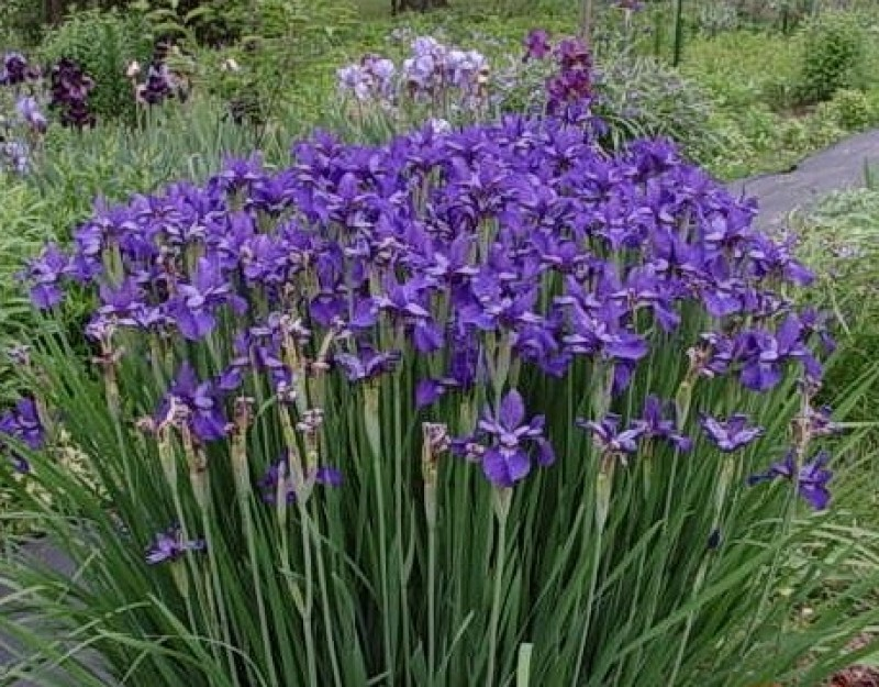 rabatt iris caesars brother